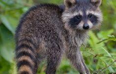 """""""Raccoon Stealer"""" Kötü Amaçlı Yazılım, Kripto Para Birimi Cüzdanlarınızı Çalabilir"""